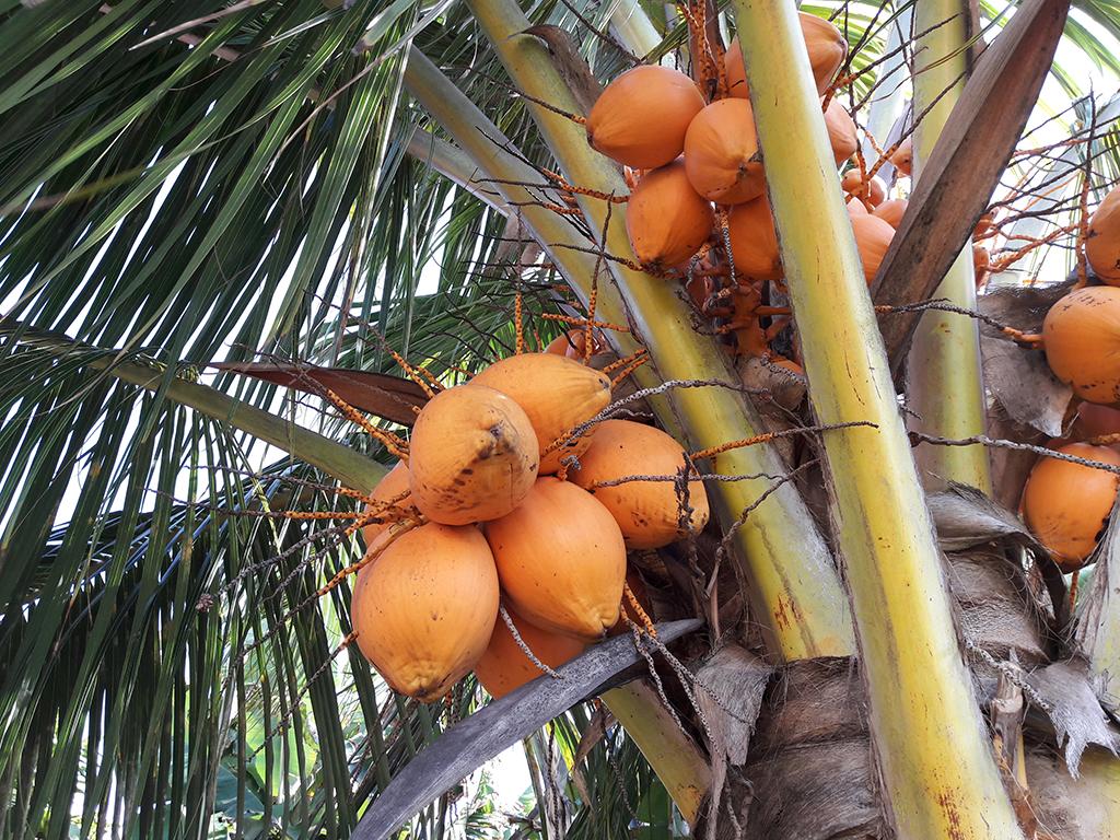 Coconut Killers: Kokosnuss öffnen